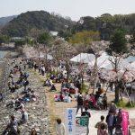 今年は桜満開で宇治川さくらまつり開催されました(平成31年4月6日・7日)